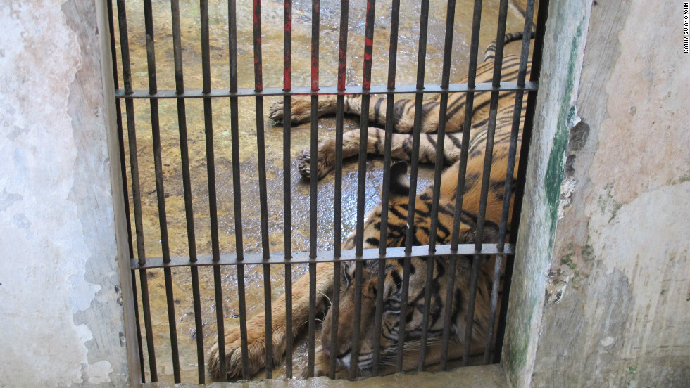 "Tigers at Indonesia's Surabaya Zoo are kept in small cages and take it in turns to walk around a small enclosure outside. A Sumatran tiger ""Betina"" is so sick she cannot keep any food down. A few cages away is another emaciated white tiger ""Santi."""