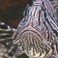 exp going green lionfish invasion c_00043201