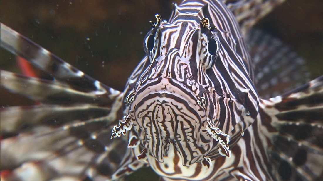 RISE do not expect to eliminate the invasive lionfish, but hope to reduce their numbers sufficiently to allow the ecosystems to recover.
