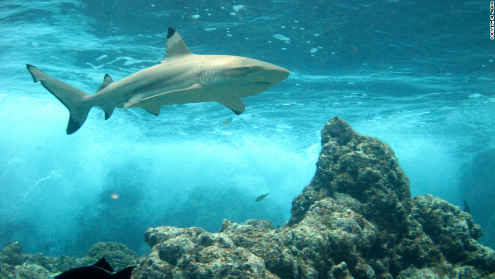 A new survey of Pacific reef sharks has shown that numbers are dwindling dramatically in areas near islands with human populations.