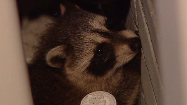 dnt cbc raccoons raid home_00001326
