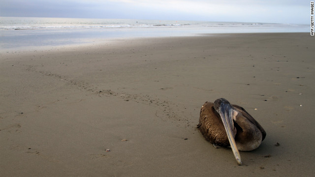 Dying pelicans in Peru have been blamed on warm waters.