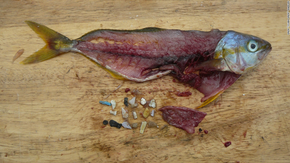 "A rainbow runner caught in the Pacific with a gut full of plastic particles. ""Our consumption does have a life after our use that we have to take responsibility for,"" Eriksen says."
