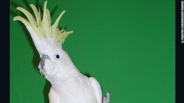 Snowball the cockatoo can dance to song beats, whereas monkeys cannot, says Aniruddh Patel.