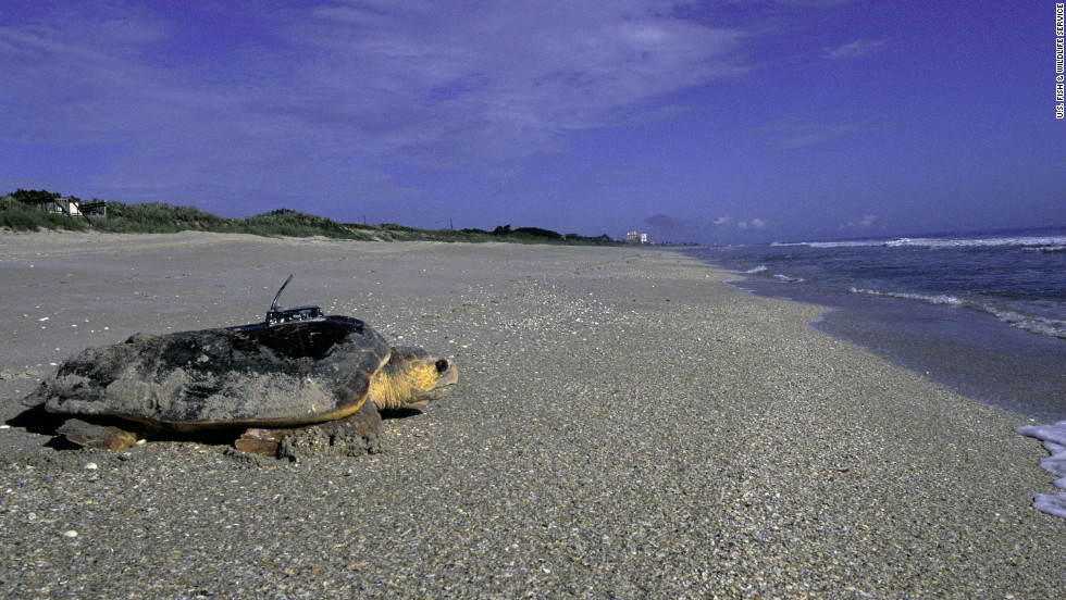 Florida's coastlines are crucial to the survival of several species of threatened and endangered sea turtles.