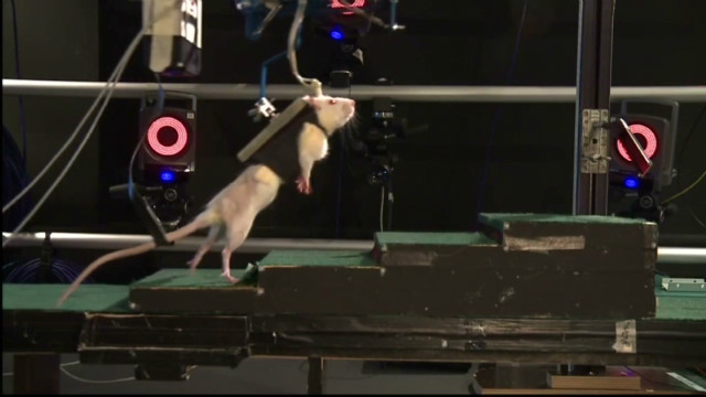 Treatment helps paralyzed rats walk