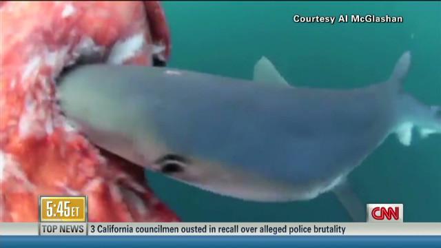 Watch shark feast on giant squid