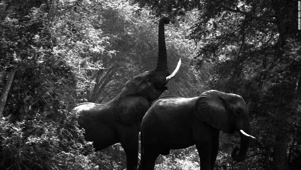 "According to Cryil Christo, at the beginning of the 1980s there were over a million elephants roaming Africa. Today that number has dramatically fallen to ""no more than 400,000."""
