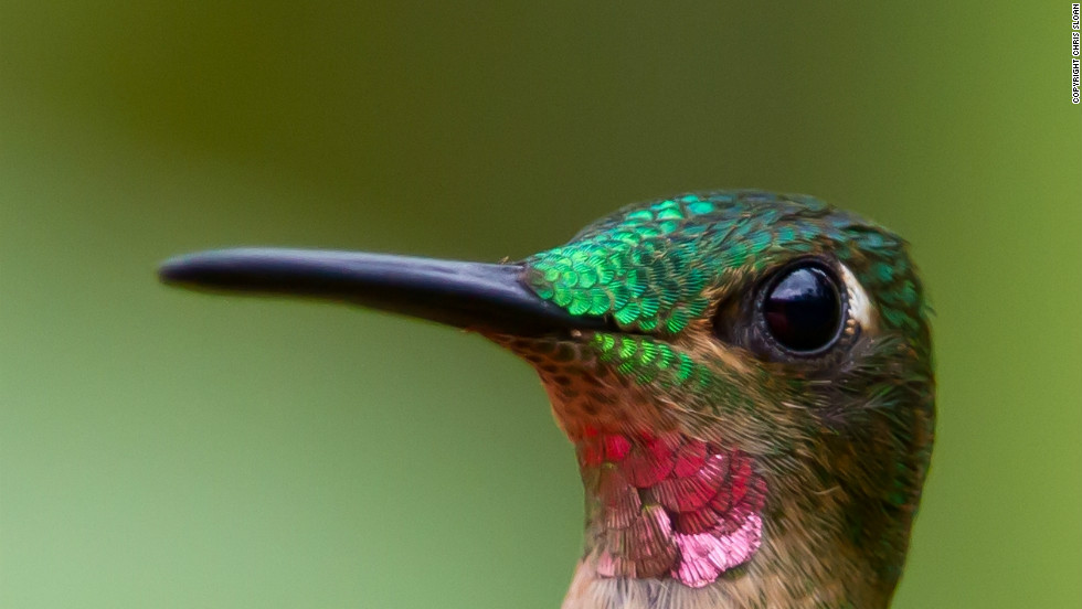 """The pink-throated brilliant is a member of the hummingbird family and is native to Colombia, Ecuador and Peru. It is classified as """"vulnerable"""" by the IUCN Red List. Thirteen percent of birds are threatened with extinction."""