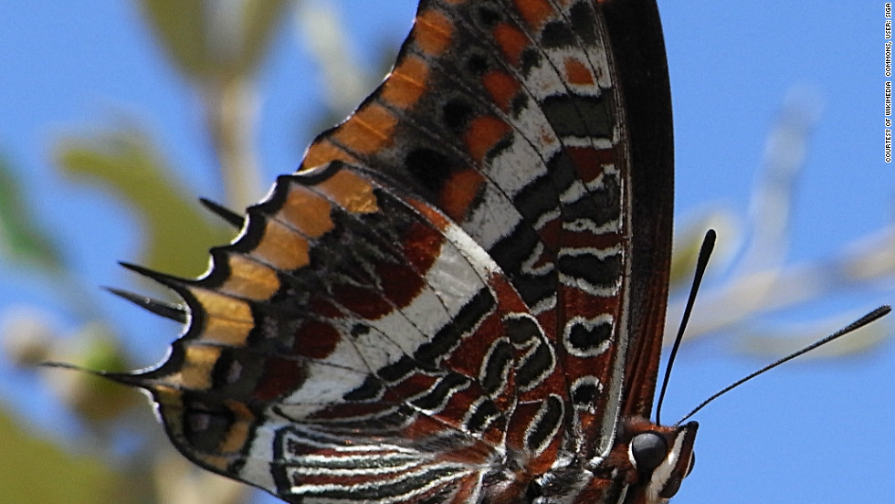 The two-tailed pasha can be found in southern Europe and is less at risk than some other European butterfly species. Of Europe's endemic butterflies, 16% are under threat, says the IUCN.