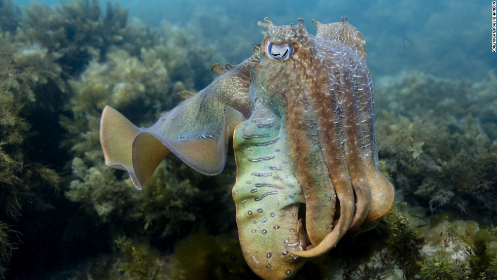 "The cuttlefish is another newly recorded species on the 2012 Red List and classified as ""near threatened."""