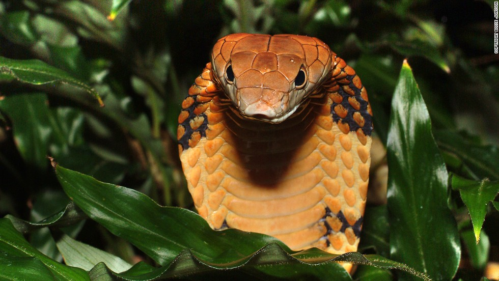 """The world's largest venomous snake is classified as """"vulnerable"""" to extinction by the IUCN. Of the 63,837 total species assessed, 19,817 are threatened with extinction."""