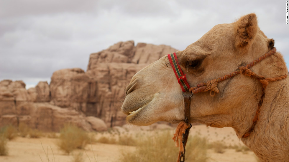 "Wade says of camels: ""Any creature that has the strength and endurance to cross one of the harshest places on Earth with a man and his supplies on its back, whilst drinking only twice in five days and eating nothing but thorns, does not deserve the label of unreliable."""