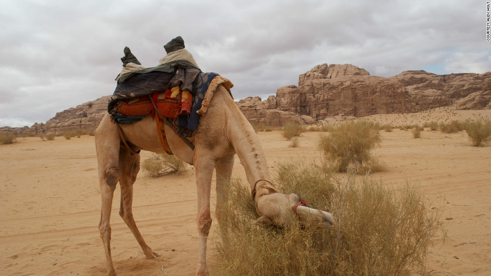 """Driving a camel is less an exercise of steering than of prompting the animal from one shrub to another,"" he says."