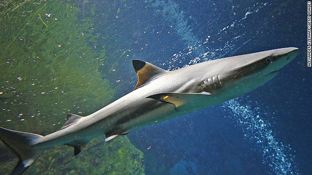 A blacktip reef shark (Carcharhinus melanopterus) swims in the aquarium of the Haus des Meeres ('House of the Sea') in Vienna on June 27, 2012. AFP PHOTO / ALEXANDER KLEIN (Photo credit should read ALEXANDER KLEIN/AFP/GettyImages)