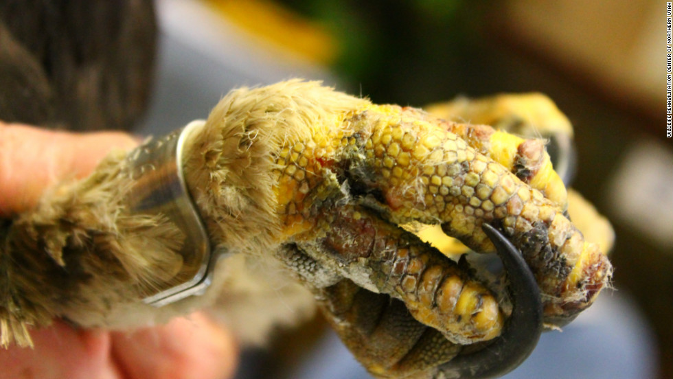 In this close-up image, the injuries to one of Phoenix's talons are evident.