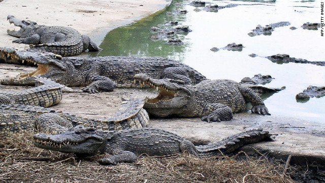 Farmed Siamese crocodiles shown at the Samut Prakan Crocodile Farm and Zoo near Bangkok, Thailand.