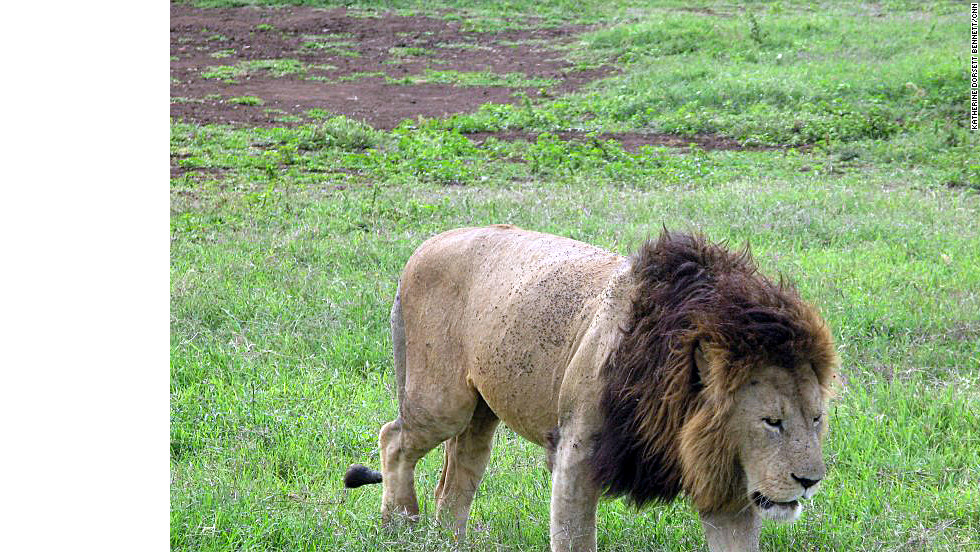 Lions are common in the Ngorongoro Conservation Area.