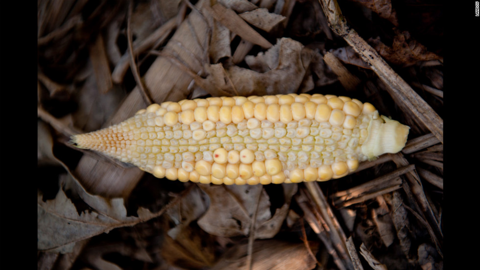 The drought plaguing the Midwest has taken a harsh toll on America's corn crops, such as this one in Grayville, Illinois.