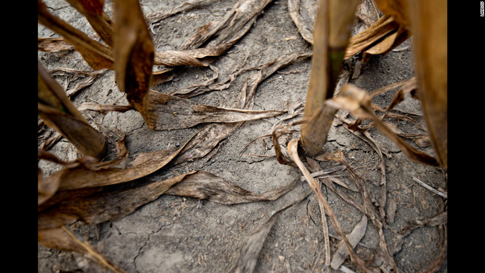 Brown corn stalks stand in a drought-stricken field on July 11 in Carmi, Illinois.