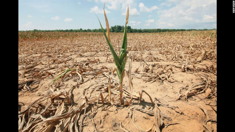 A single stalk of corn grows in a drought-stricken field near Shawneetown, Illinois, on July 16.