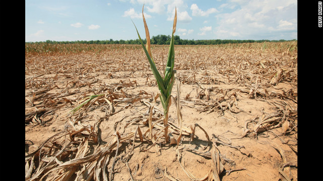 A single stalk of corn grows in a drought-stricken field near Shawneetown, Illinois on July 16.