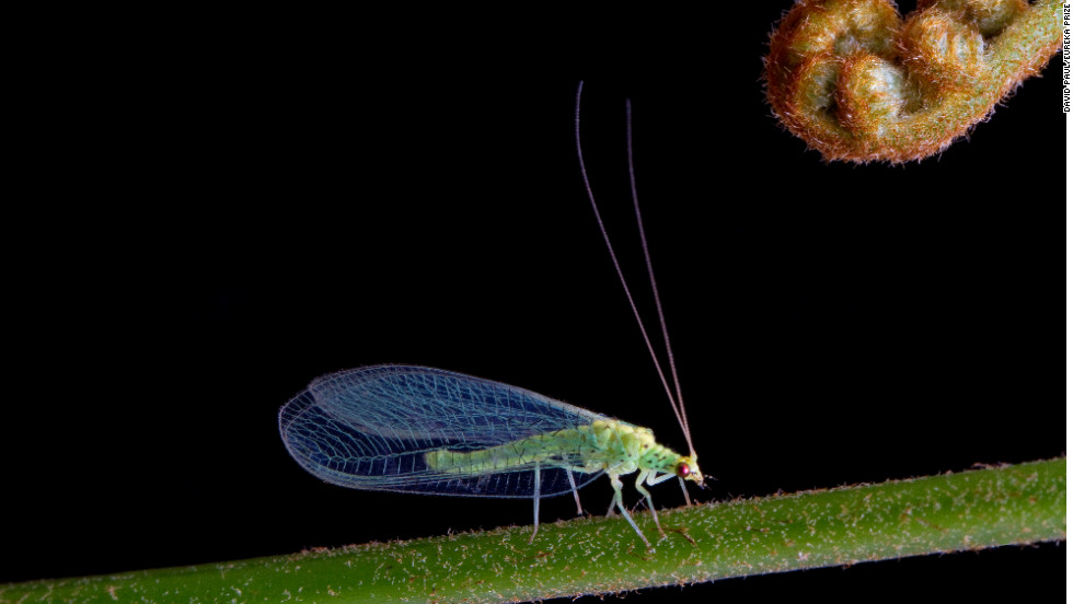 The green lacewing insect is known for the complex network of veins that give its wings a lacy appearance. Photo by David Paul.