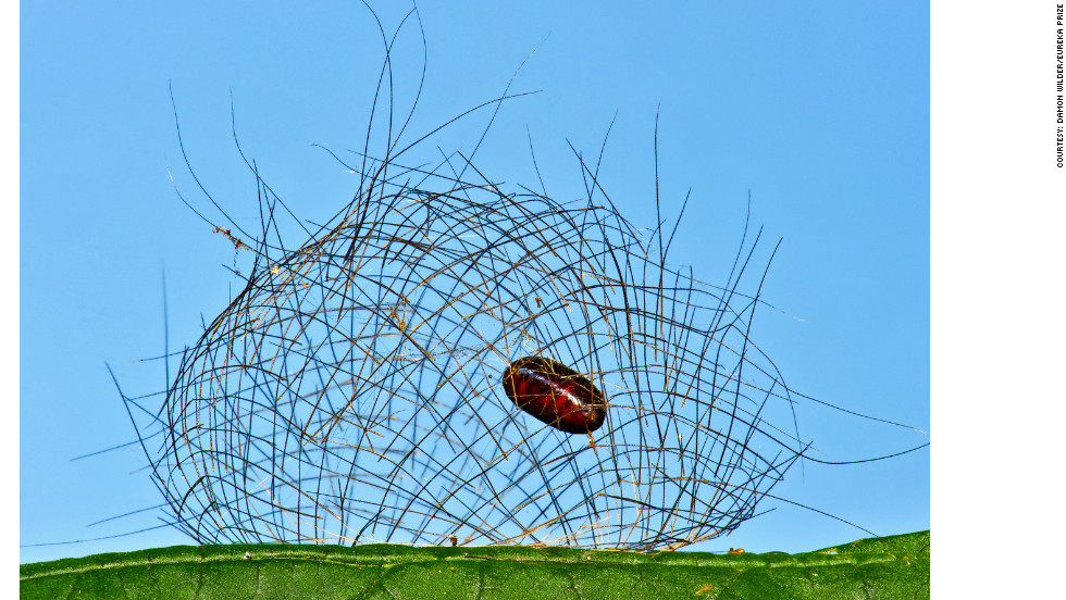 Cyana meyricki caterpillars are covered in a spiny layer of hairs, which form a protective cage when it is ready to pupate. But in this image, the caterpillar has been eaten by a parasitoid fly, which is now hanging in the cage, protected from predators. By Damon Wilder.