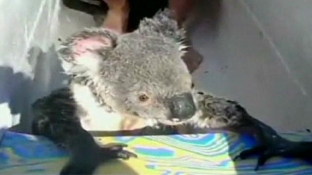wr koala swims and climbs in canoe_00002402