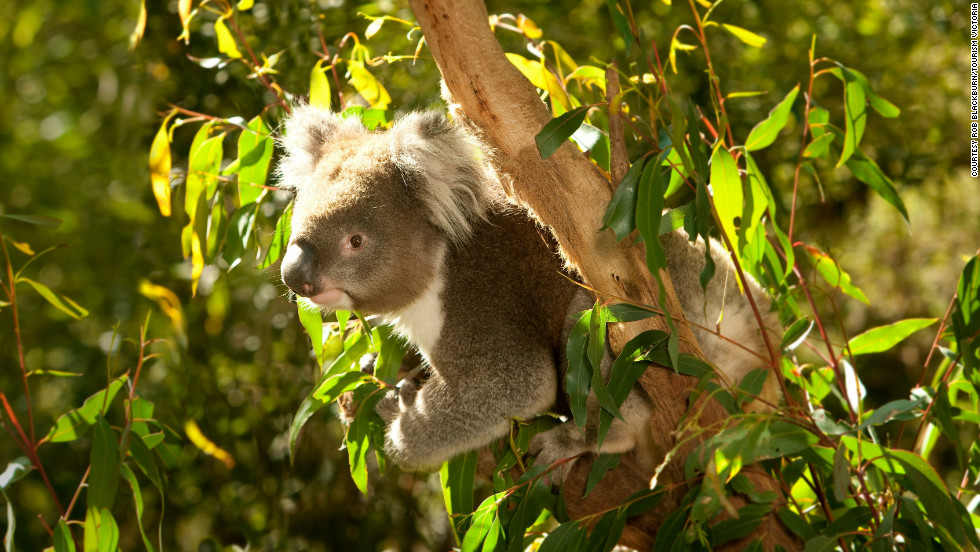 If you must catch a glimpse of  Australian koalas, it's a short trip to Healesville Sanctuary to see them.