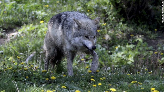 Effective September 30, gray wolves in Wyoming won't be protected under the Endangered Species Act.