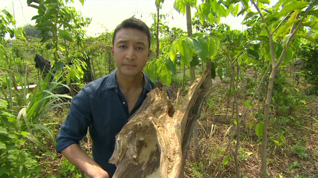 Hong Kong incense tree under threat