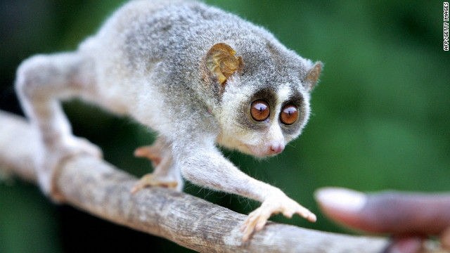 The slender loris is a rare, nocturnal primate,  listed as endangered under the Wildlife Protection Act of India.