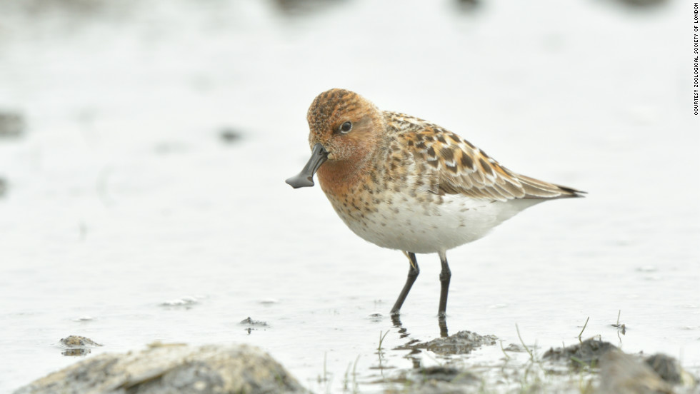 Trapping and reclamation of its winter grounds has left the spoon-billed sandpiper on the brink of extinction. The global population is thought to be less than 100 breeding pairs.
