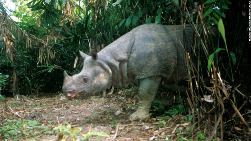The Javan rhino was once found in forests across Southeast Asia, but today less than 100 remain in the Kulon National Park in Java. Their horns are prized in traditional medicine and can fetch up to $30,000 on the black market.
