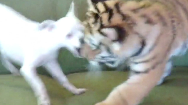 orig jtb distraction tiger cub and dog_00005326