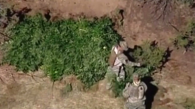 Two hunters stumble onto a pot farm