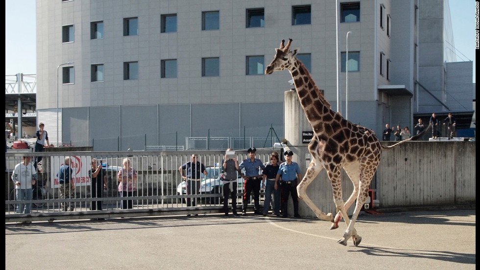 The giraffe reportedly damaged several vehicles while on the run.