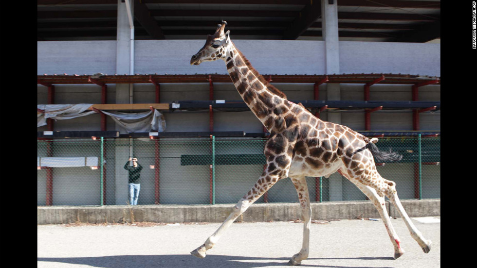 With its long neck, the giraffe was quite a sight on the streets of Imola.