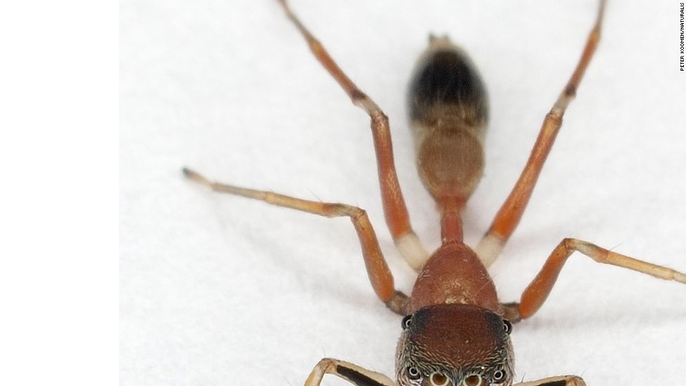 Springspin (jumping spider)