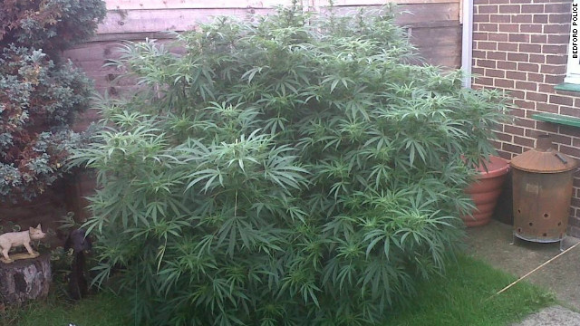 "Bedford police posted this photo of the bush on Twitter, described as the ""biggest cannabis plant"" we've seen."