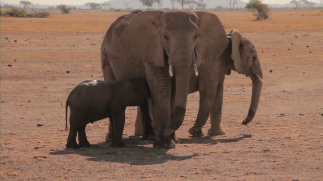 Baby elephant stuck, mom keeps vigil