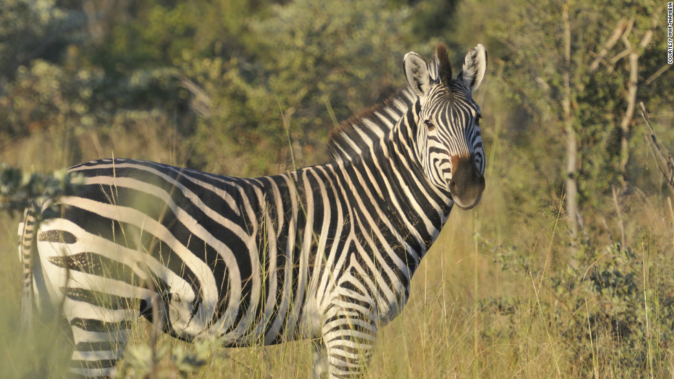 For many Namibians living on communal lands during the period apartheid-era South Africa ruled Namibia, poaching springbok and zebra was the only way a family could stay fed, according to John Kasaona.