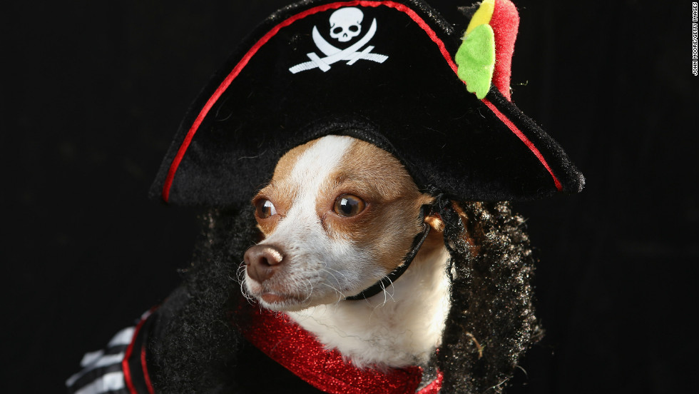 Little, a chihuahua, poses as a pirate at the Tompkins Square Halloween Dog Parade on October 20, 2012 in New York City.