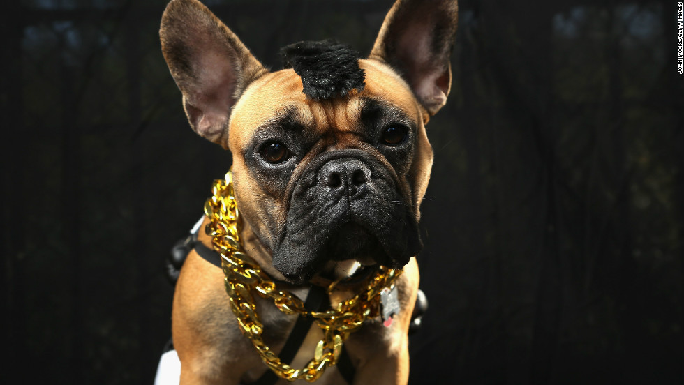 Gus, a boxer, poses as Mr. T at the Tompkins Square Halloween Dog Parade on October 20, 2012 in New York City.