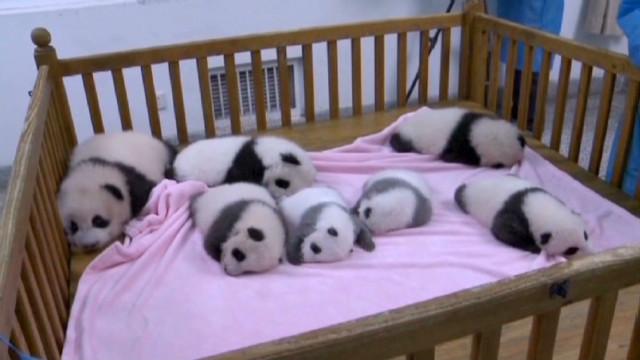 vo panda cubs born debut_00004408