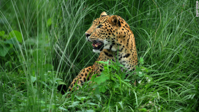 Police in Nepal believe a leopard like the one in this 2009 file photo may have killed up to 15 people in a 15-month period.