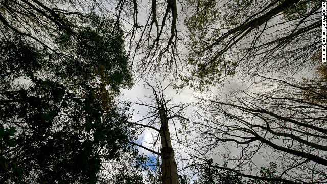 Ash trees in Pound Farm Woodland, near Ipswich, UK, where many cases have been found of ash dieback disease.