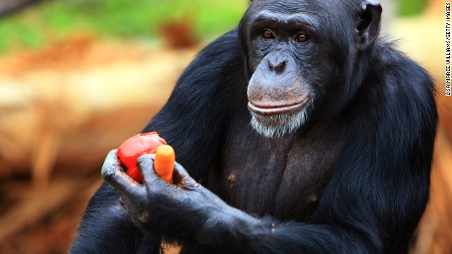 Chimpanzees share about 99% of their DNA with humans.