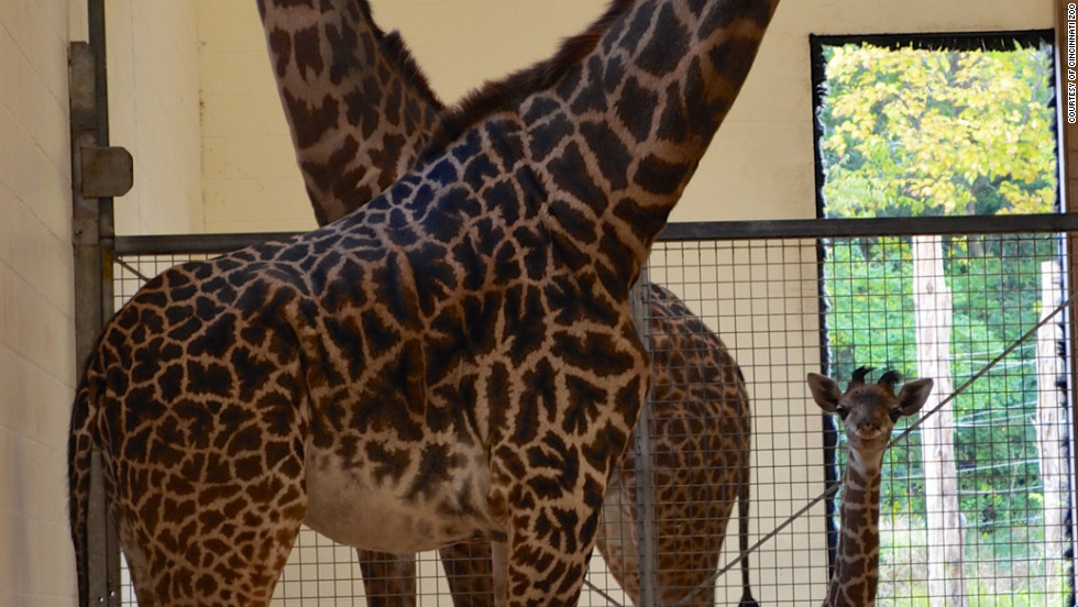 Lulu, the baby girl giraffe at the Cincinnati Zoo, has a Twitter following.